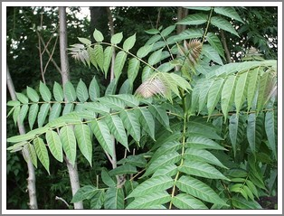 tree of heaven - favorite host of lanternfly