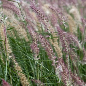 karley rose fountain grass