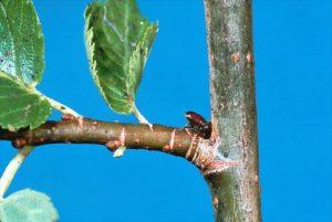 elm beetle