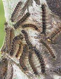 gypsy moth infestation