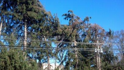 trees threatening power lines