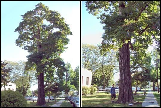 sassafrass tree