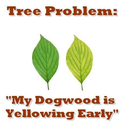 Tree Problem My Dogwood Tree Is Yellowing Early Precision Tree