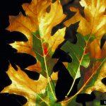 signs of oak wilt tree disease