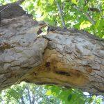 crack in branch of tree