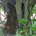 gypsy moth tree infestation