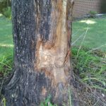 tree bark damaged by car