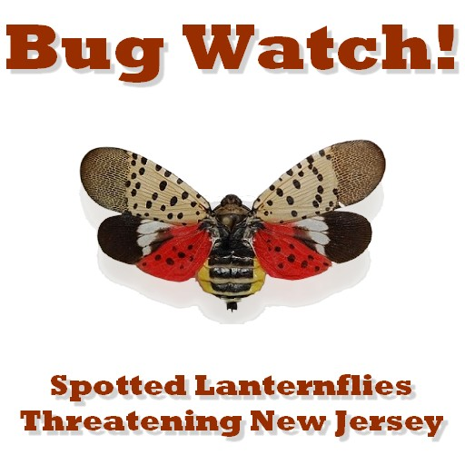 bug watch lanternflies