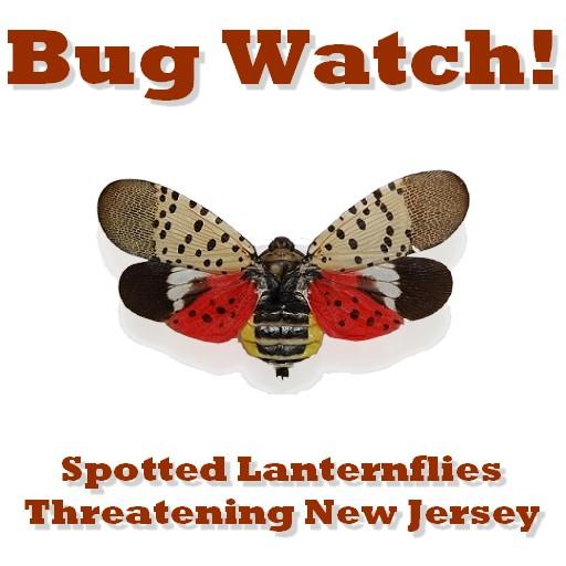 bug watch lanternflies