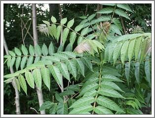 tree of heaven - favorite host of lanternfly