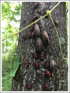 young and adult spotted lanternflies
