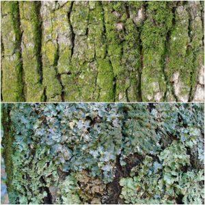 moss vs lichen