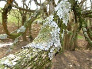 I lichen bad for my tree