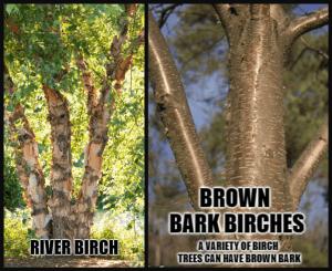 Bronze Birch Borer Resistant Trees
