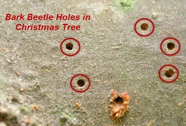 Bark Beetle Bore Holes