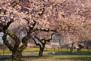 ornamental flowering cherry tree