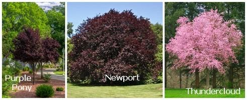 Purple Plum Trees