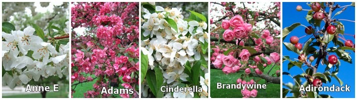 crabapple tree varieties