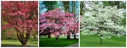 red pink and white dogwood trees