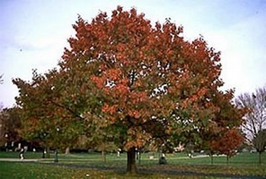 red oak shade tree