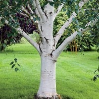 paper birch as a shade tree