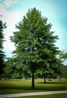 pin oak as a shade tree