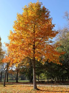 tulip tree as a shade tree