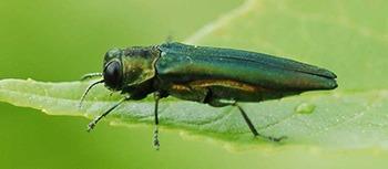 Ash Borer Emerald