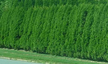 emerald green thuja hedges