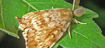 Gpsy Moth Insect