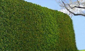 hybrid willow hedge
