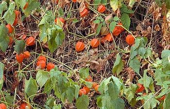 Ground Cherrys