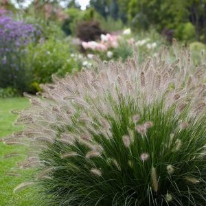 hamelins fountain grass