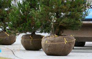 Nursery Trees 2